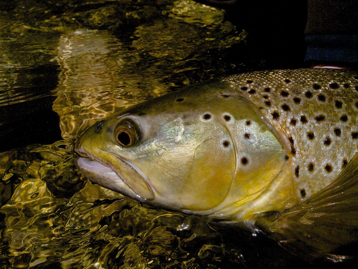 golden brown trout